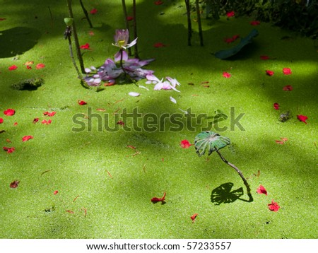 Fade lotus and reflection of alone lotus leaf on green duckweed - stock photo