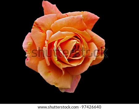 Faded Orange rose isolated on black - stock photo