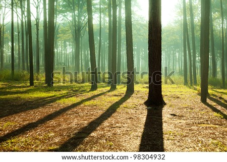 fairy tale fir tree forest - stock photo