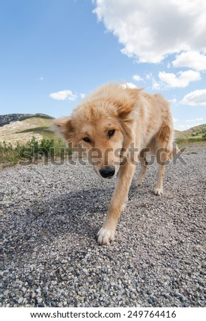 faithful greek sheepdog on a country road in the mountains, Peloponnesus, Greece, Europe - stock photo