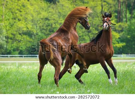 Faithing arabian stallions - stock photo