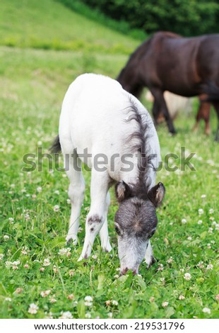 Falabella Foal mini horse grazing on a green meadow in summer, selective focus, horse in the background