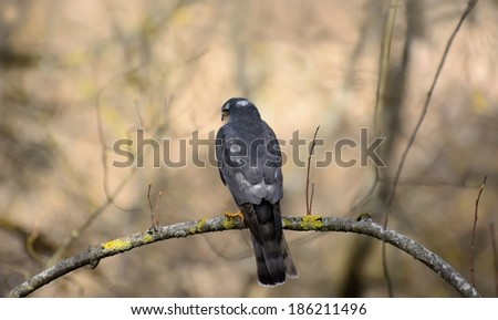 Falco columbarius.Pigeon hawk - stock photo