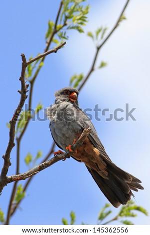 Falco vespertinus - Red-footed falcon - stock photo