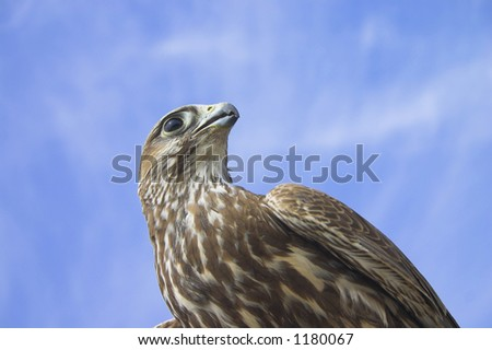 Falcon - stock photo