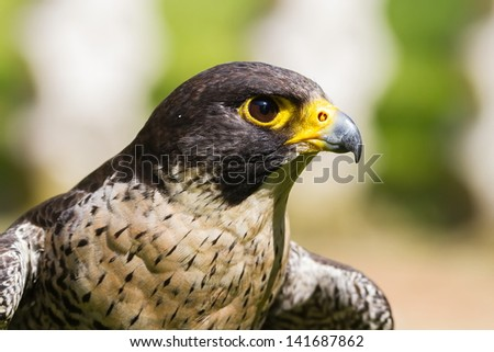 falcon close up - stock photo