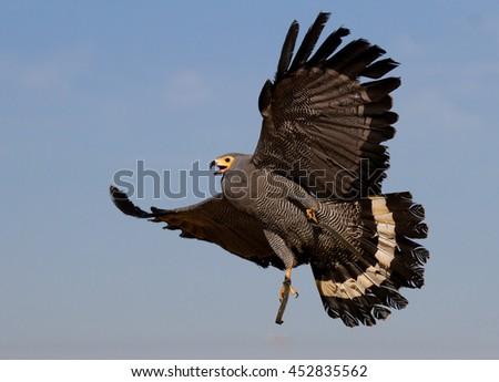falcon in flight - stock photo