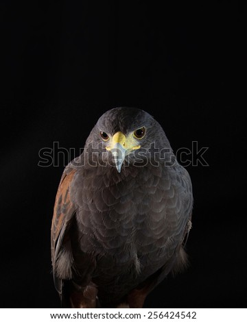 Falcon posing to camera on studio - stock photo