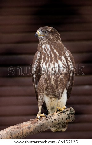 falcon sitting on branch - stock photo