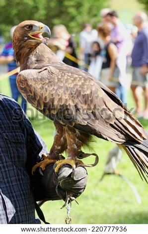 Falconer trainer with Golden Eagle with a big beak and bright eyes - stock photo
