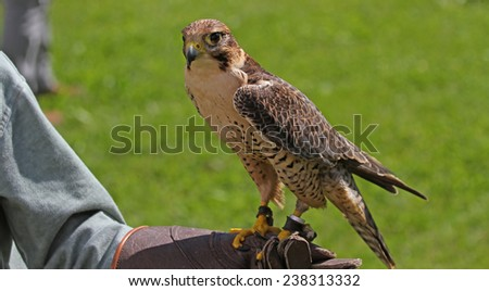 Falconer with the Peregrine Falcon on training glove