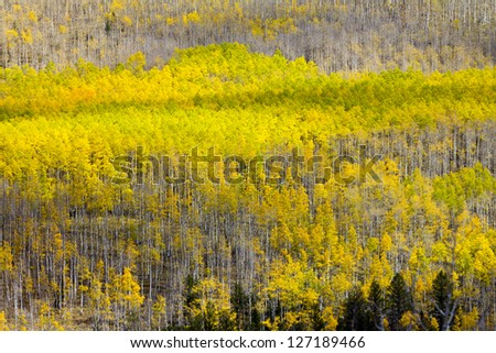 Fall aspen trees background texture pattern in Colorado - stock photo