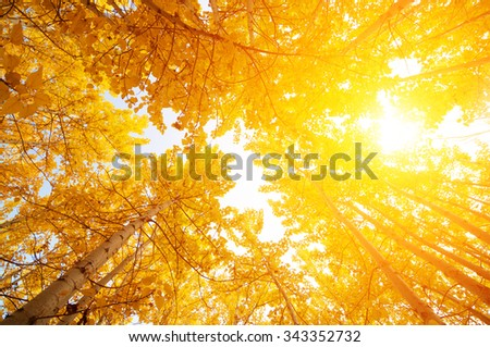 Fall Aspen Trees from low angle view with golden sunlight, Leh District in the state of Jammu and Kashmir, India. - stock photo