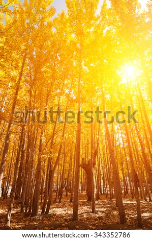 Fall Aspen Trees with filtered sunlight , Leh District in the state of Jammu and Kashmir, India. - stock photo