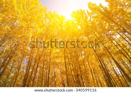 Fall Aspen Trees with golden sunlight, Leh District in the state of Jammu and Kashmir, India. - stock photo