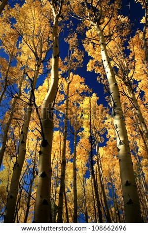 fall aspens, outside Santa Fe, New Mexico, USA - stock photo
