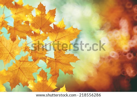 Fall, autumn, leaves backgroung. A tree branch with autumn leaves of a maple on a blurred background  - stock photo