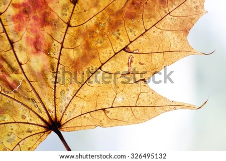 Fall background concept. Colorful maple dry leaf texture. Gold, orange, brown, red colors. closeup - stock photo