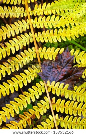 Fall color, fern and fallen leaf, Monongahela National Forest, West Virginia, USA - stock photo