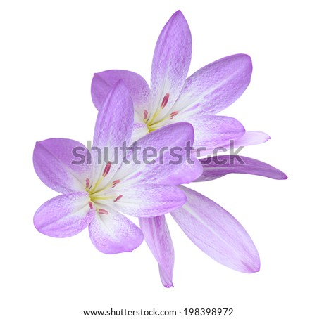 Fall flowers: Lilac Colored Colhicum Flowers Isolated on White Background - stock photo