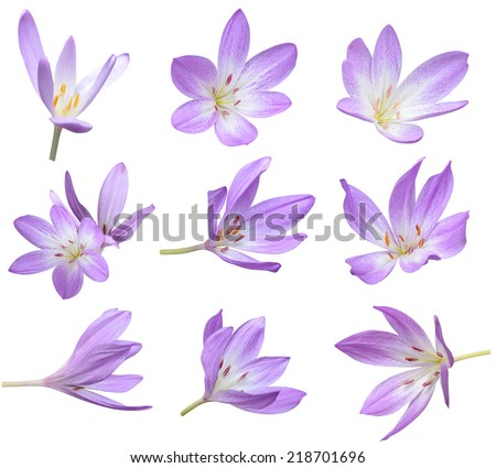 Fall flowers: Violet Crocus Flowers Isolated  - stock photo