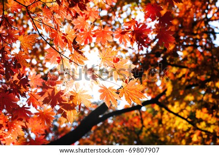 fall forest with sun light through the maple foliage - stock photo