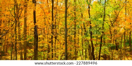 Fall Trees Backlit by Sun - stock photo