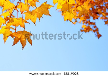 fall yellow maple leaves in the blue sky