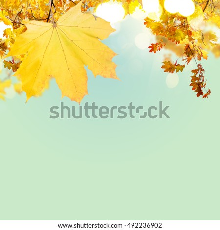 Fall yellow maple leaves on blue sky background with copy space