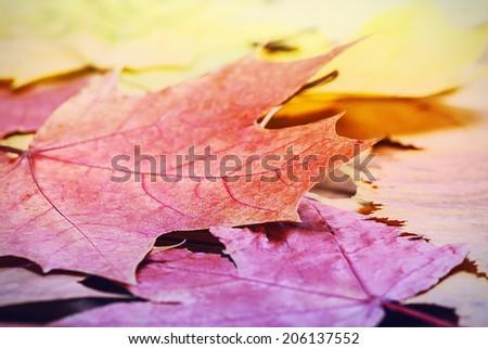 fallen autumn maple leaves on the ground. Toning style instagram - stock photo