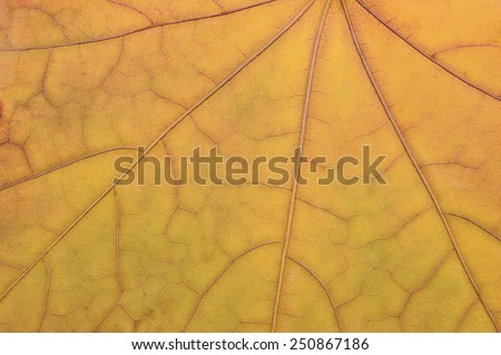 Fallen golden yellow maple leaf texture pattern, autumn fall grunge vintage herbarium abstract background, large detailed horizontal grungy textured vivid copy space macro closeup - stock photo