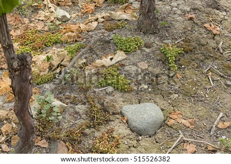 Fallen grapes on the ground in a vineyard