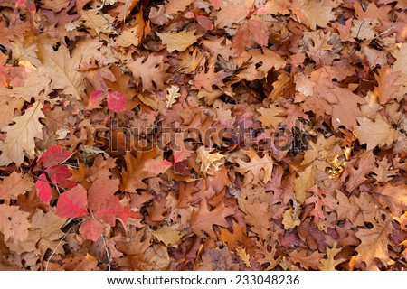 Fallen leaves background in a temperate forest - stock photo