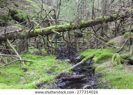 Fallen old moss covered spruce tree - stock photo