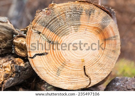 Fallen pine tree, cut with chainsaw, exposes tunnels created in the wood by  Round Headed Borer larva, in North Carolina. May be the  Pine sawyer beetles (Monochamus spp.), AKA  long-horned beetles - stock photo