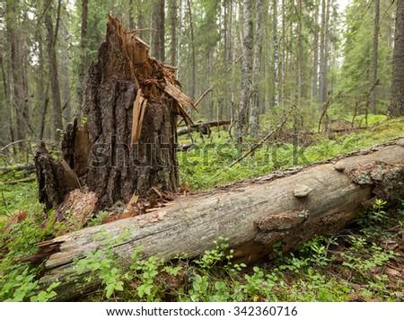 Fallen pine tree, Pinus sylvestris in natural forest - stock photo