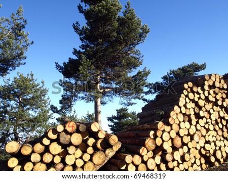 fallen pine trees in La Rioja - stock photo