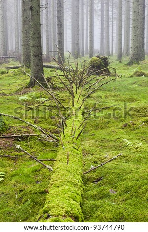 Fallen Spruce tree in the forest with morning mist - stock photo