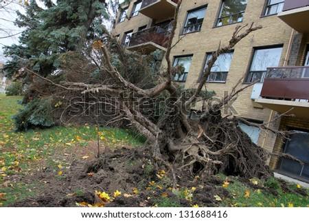 Fallen tree after hurricane Sandy in Toronto. October 31, 2012. - stock photo