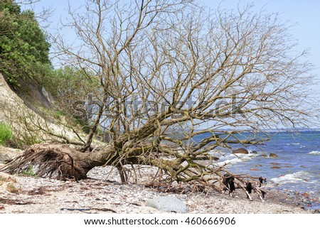 fallen tree - Cliff - Baltic beach - Germany