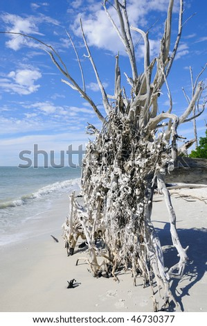 Fallen Tree from Hurricane on the Beach of Lovers Key, Florida - stock photo