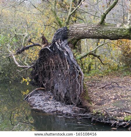 Fallen tree in a marsh, storm in Holland - stock photo