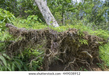 Fallen tree, storm or hurricane damage  - stock photo
