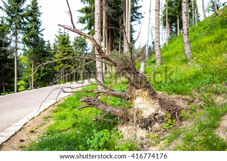 Fallen Tree With Tribe In The Foreground Near The Road Surrounded By Coniferous Trees - stock photo