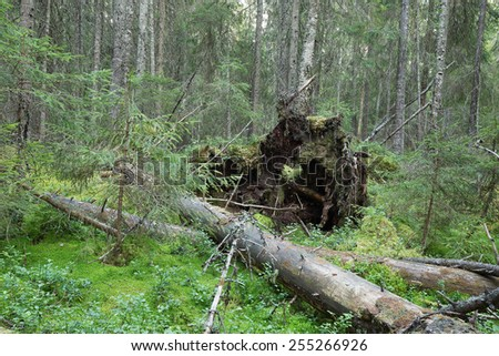 Fallen trees in natural untouched forest, Dalarna, Sweden - stock photo