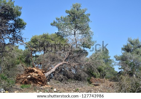 fallen trees ripped from the roots of the storm Carmel Park - stock photo