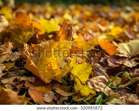 Fallen yellow leaves on a sunny autumn day - stock photo