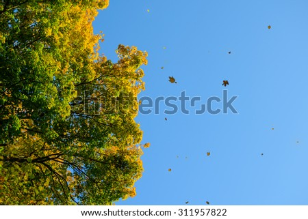 Falling Colorful Autumn Leafs and Bright Tree over Deep Blue Sky - stock photo