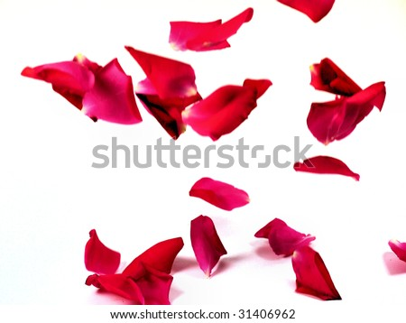 falling rose petal - stock photo