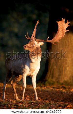 Fallow Buck - stock photo
